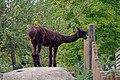 Alpaga (Zoo Amiens).JPG