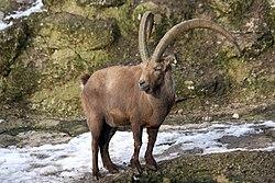 Alpensteinbock (Capra ibex) Zoo Salzburg 2014 h.jpg