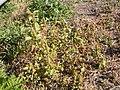 Amaranthus retroflexus (3704266546).jpg