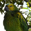 Amazona aestiva -yellow on wings-4-2c.jpg