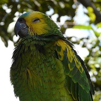 Turquoise-fronted amazon - Image: Amazona aestiva yellow on wings 4 2c