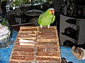 Amazona autumnalis -Coconuts Bar -Cozumel -Mexico-8a.jpg