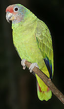 A green parrot with light-brown cheeks, a red forehead, and white eye-spots