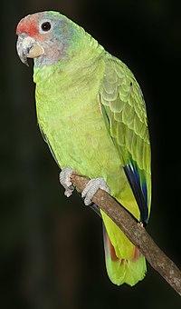 Amazona brasiliensis 001 1280