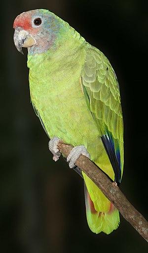 Red-tailed amazon - Image: Amazona brasiliensis 001 1280