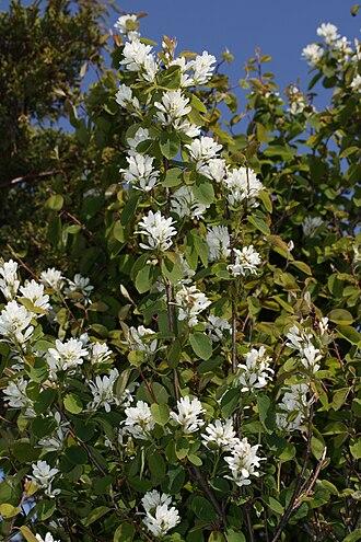 Amelanchier alnifolia - Amelanchier alnifolia var. semiintegrifolia shrub in flower, Craft Island Washington