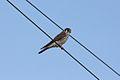 American Kestrel (Falco sparverius) (8591588843).jpg