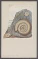 Ammonites bifidus - - Print - Iconographia Zoologica - Special Collections University of Amsterdam - UBAINV0274 091 01 0087.tif