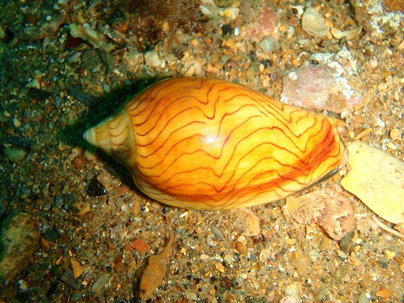 File:Amoria undulata Wavy volute P2023239.JPG