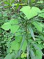 Amphicarpaea bracteata SCA-04704.jpg