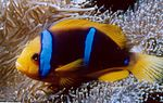 Amphiprion chrysopterus 2.jpg