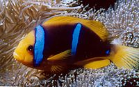 Amphiprion chrysopterus 2