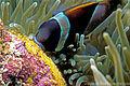 Amphiprion latezonatus, embriones.jpg