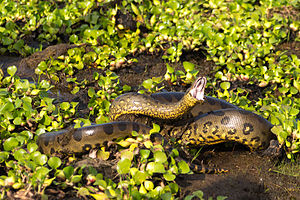 Green anaconda - At the Hato El Cedral