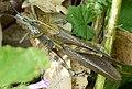 Anacridium aegyptium Egyptian Locusts mating (32396409381).jpg