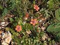 Anagallis arvensis arancio LM.jpg