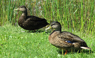 Mallard - An American black duck (top left) and a male mallard (bottom right) in eclipse plumage