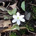 Anemone acutiloba 1225.jpg