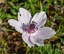 Anemone coronaria in Troodos Mountains, Cyprus.jpg