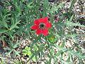 Anemone fulgens - Flickr - peganum (1).jpg
