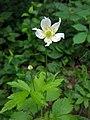 Anemone virginiana var. virginiana (1).jpg