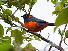 Anisognathus igniventris Scarlet-bellied Mountain-Tanager.jpg