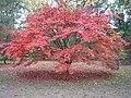 Another magical autumn in Acer Glade, 2006 - geograph.org.uk - 496077.jpg