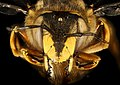 Anthidium manicatum, F, face, MA, Middlesex Co 2015-11-03-16.48.38 ZS PMax UDR (22745049920).jpg