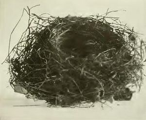 Chatham bellbird - Nest