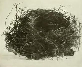 Chatham bellbird - Nest