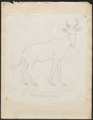 Antilope bubalis - 1700-1880 - Print - Iconographia Zoologica - Special Collections University of Amsterdam - UBA01 IZ21400123.tif