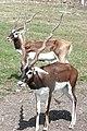 Antilope cervicapra kwh.jpg