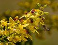 Apis Melifera na flor do Pau Brasil.jpg