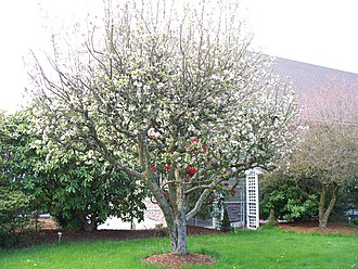 Blossom - Image: Apple Tree in Full Bloom