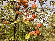 Apples, Mainz-Finthen.jpg