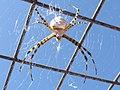 Araña de jardín (Ags., México) 06.jpg