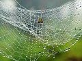 Araña en su telaraña en tiempo de lluvia - panoramio.jpg