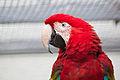 Ara chloroptera Vogelpark Marlow HBP 2011-08-18.jpg