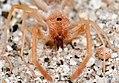Arachnida, Solifugae (4436710399).jpg