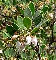 Arctostaphylos hookeri ssp franciscana 2.jpg