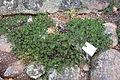 Arctostaphylos hookeri subsp. ravenii (Arctostaphylos pungens var. ravenii) - Regional Parks Botanic Garden, Berkeley, CA - DSC04532.JPG