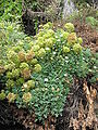 Argyranthemum frutescens & Crithmum maritimum2.jpg
