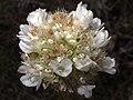 Armeria arenaria subsp. segoviensis (7552237584).jpg