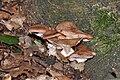 Armillaria mellea qtl1.jpg