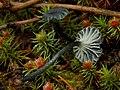 Arrhenia chlorocyanea (Pat.) Redhead, Lutzoni, Moncalvo & Vilgalys 727068.jpg