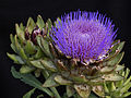 Artichoke in bloom.jpg