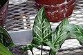 Arum italicum Marmoratum 0zz.jpg