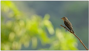 Asian brown flycatcher - Asian brown flycatcher near Coimbatore, India