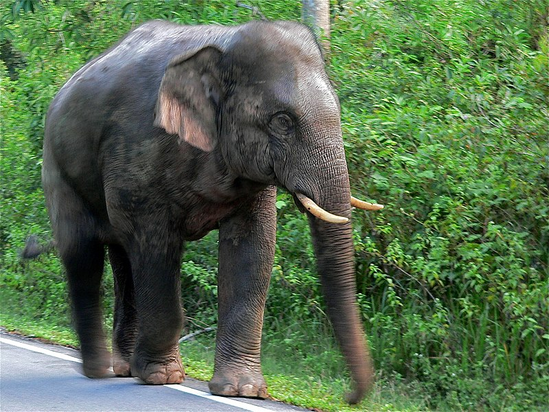 File:Asian Elephant (Elephas maximus) (7852056508).jpg