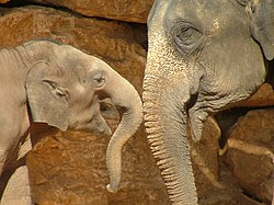Asian Elephant and Baby.JPG